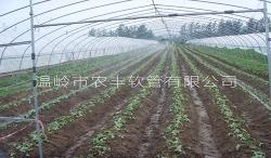 江苏草莓N80